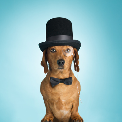 Top Hat「Dachshund wearing top hat and monacle」:スマホ壁紙(15)