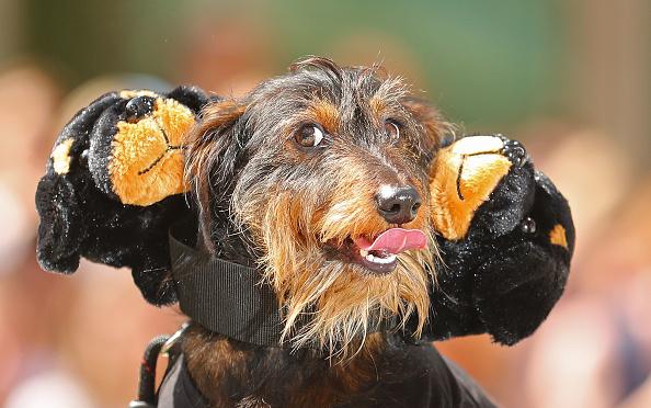 Bestpix「Annual Dachshund Race Celebrates Start Of Oktoberfest In Australia」:写真・画像(6)[壁紙.com]
