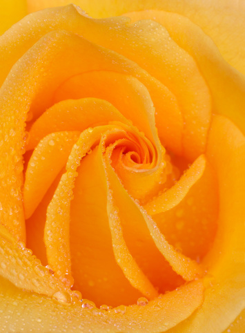 Haslemere「Petals at centre of yellow rose, with water drops」:スマホ壁紙(8)