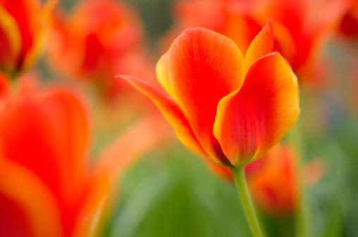 チューリップ「Red orange tulips」:スマホ壁紙(9)