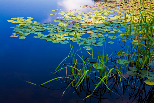 Swamp「Long Pond, Maine, deep blue water lake, lily pads, grasses」:スマホ壁紙(19)
