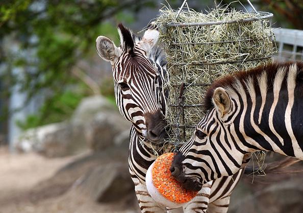 Carrot「Taronga Zoo Animals Beat The Heat With Cold Treats」:写真・画像(1)[壁紙.com]