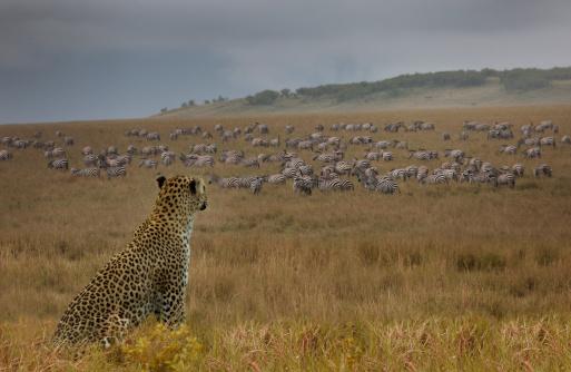 Ecosystem「Leopard (Panthera pardus) watching zebras」:スマホ壁紙(4)
