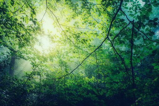 Lush Foliage「Hornbeam, Carpinus betulus, twigs with green leaves against the sun」:スマホ壁紙(7)