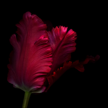 Blossom「Close up, side view of a single red parrot tulip 」:スマホ壁紙(3)