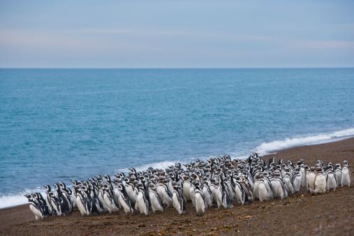 Magellan Penguin「Argentina, Patagonia, Valdes Peninsula, magellanic penguins on beach」:スマホ壁紙(10)