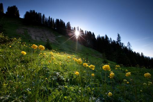 Lech Valley「meadow of globeflower in backlight」:スマホ壁紙(19)