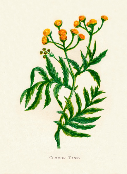 Uncultivated「Common Tansy, c1891, (1891)」:写真・画像(8)[壁紙.com]