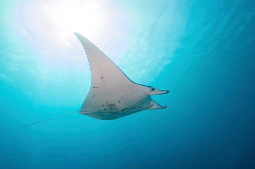 Manta「Manta ray, Yap, Micronesia.」:スマホ壁紙(13)