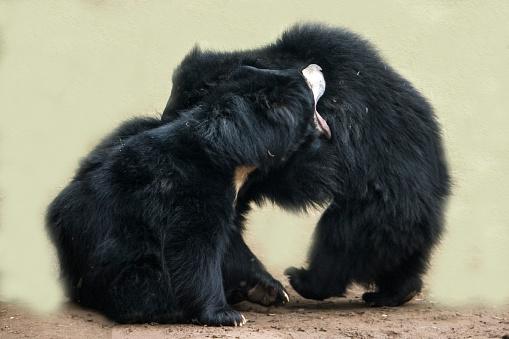 Battle「Sloth Bear」:スマホ壁紙(3)