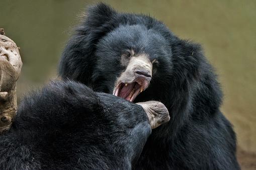 Battle「Sloth Bear」:スマホ壁紙(8)