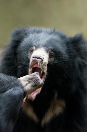 Battle「Sloth Bear」:スマホ壁紙(10)
