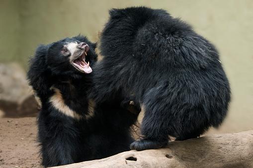 Battle「Sloth Bear」:スマホ壁紙(5)