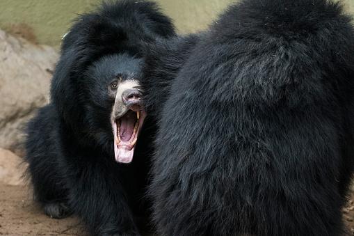 Battle「Sloth Bear」:スマホ壁紙(12)
