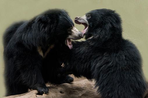 Battle「Sloth Bear」:スマホ壁紙(9)