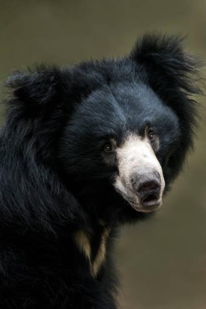 Sloth Bear:スマホ壁紙(壁紙.com)