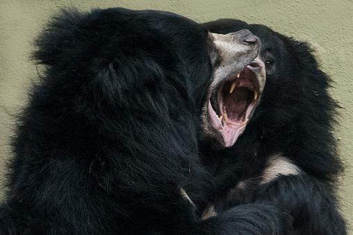 Battle「Sloth Bear」:スマホ壁紙(13)