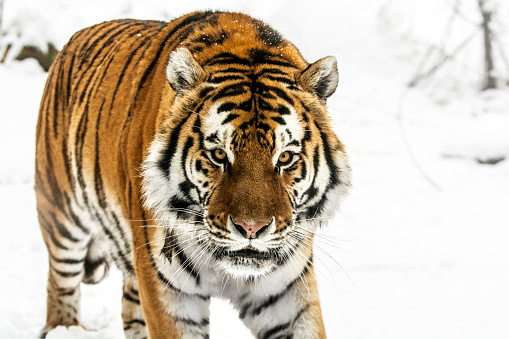 Fang「Slowly walking Siberian tiger in snow」:スマホ壁紙(15)
