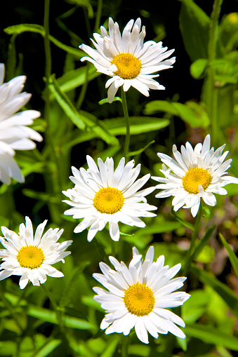 花「Five shasta daisy flowers atop green foliage」:スマホ壁紙(5)