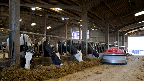 Eating「Holstein dairy cows eating grass silage indoors」:スマホ壁紙(11)