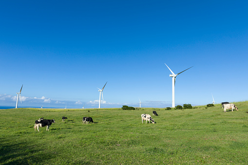 オアフ島「Holstein dairy cows graze amidst wind turbines」:スマホ壁紙(11)