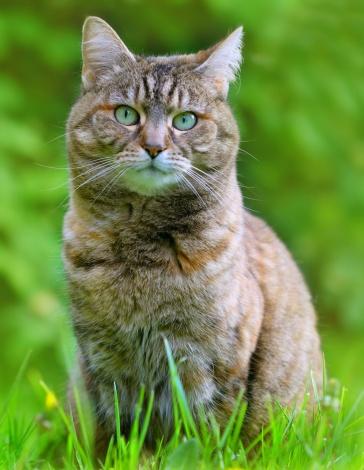 トラ猫「飼い猫のポートレート芝生」:スマホ壁紙(18)
