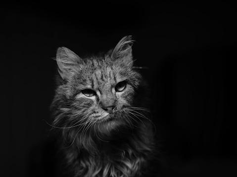 Mixed-Breed Cat「Domestic Cat Portrait」:スマホ壁紙(15)