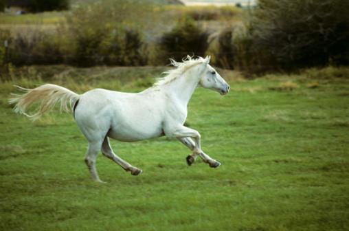 Horse「White Arab horse (Equus caballus) cantering in field, Wyoming, USA」:スマホ壁紙(1)
