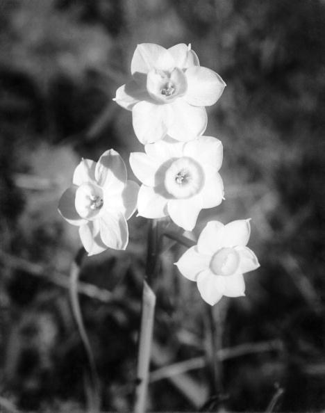 スイセン「Indian Flora」:写真・画像(19)[壁紙.com]