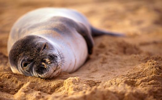 Animal Whisker「Endangered Monk Seal」:スマホ壁紙(19)