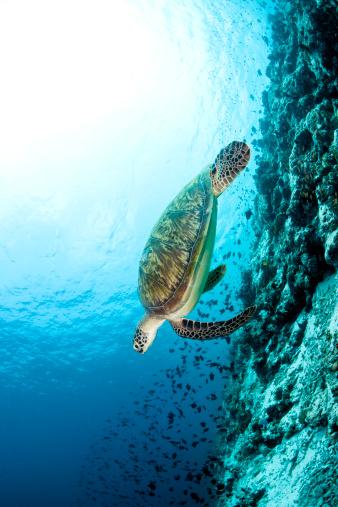 Green Turtle「Endangered Green Sea Turtle, Maldives」:スマホ壁紙(8)