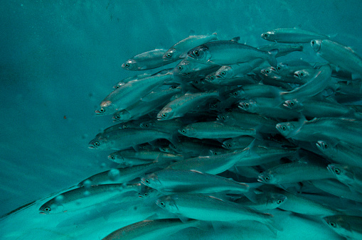 1990-1999「Endangered Yearling Snake River Sockeye Salmon」:スマホ壁紙(3)