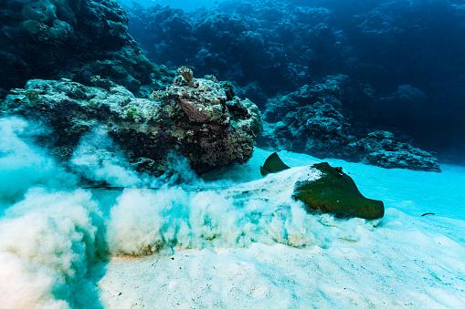 Leaving「Endangered Species Cowtail Stingray Pastinachus sephen Leaving Ocean Floor, Palau, Micronesia」:スマホ壁紙(10)
