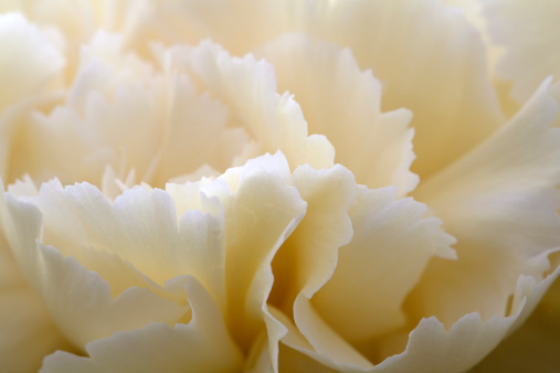 カーネーション「Cream coloured carnation, close-up」:スマホ壁紙(13)