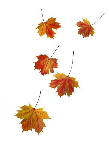 かえでの葉「Falling Norwegain maple leaves in autumn.」:スマホ壁紙(12)