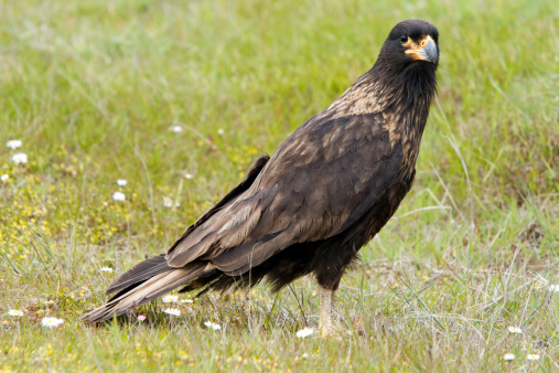Hawk - Bird「Striated Caracara, Johnny Rook」:スマホ壁紙(2)