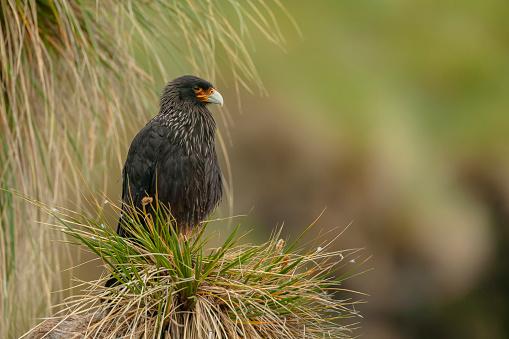 Falkland Islands「Striated caracara (Phalcoboenus australis)」:スマホ壁紙(5)