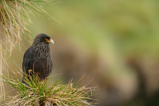 Falkland Islands「Striated caracara (Phalcoboenus australis)」:スマホ壁紙(6)
