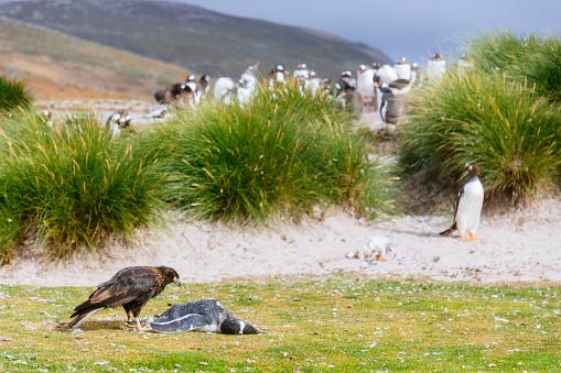 Falkland Islands「A striated caracara (Phalcoboenus australis) stands beside a dead Gentoo penguin (Pygoscelis papua)」:スマホ壁紙(7)