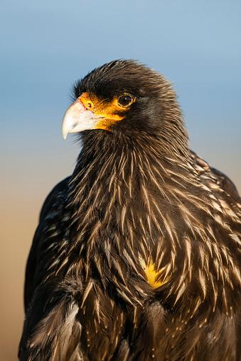 Falkland Islands「Striated caracara (Phalcoboenus australis). Falkland Islands, South Atlantic」:スマホ壁紙(17)