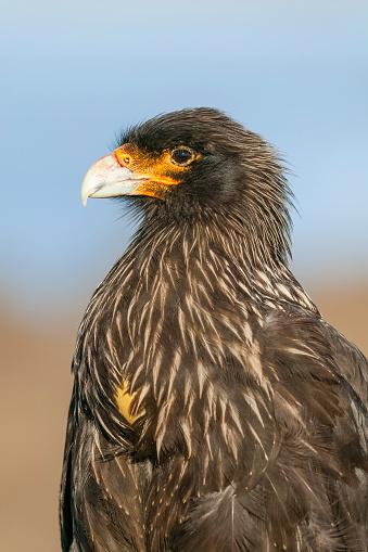 Falkland Islands「Striated caracara (Phalcoboenus australis). Falkland Islands, South Atlantic」:スマホ壁紙(7)