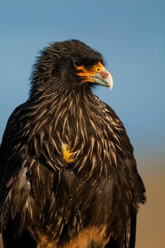 Falkland Islands「Striated caracara (Phalcoboenus australis). Falkland Islands, South Atlantic」:スマホ壁紙(4)