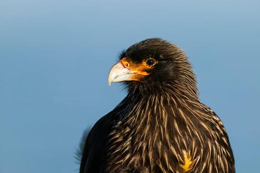 Falkland Islands「Striated caracara (Phalcoboenus australis). Falkland Islands, South Atlantic」:スマホ壁紙(9)