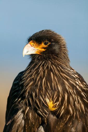 Falkland Islands「Striated caracara (Phalcoboenus australis). Falkland Islands, South Atlantic」:スマホ壁紙(10)