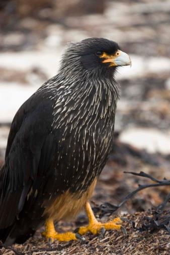 Falkland Islands「Striated Caracara bird」:スマホ壁紙(10)