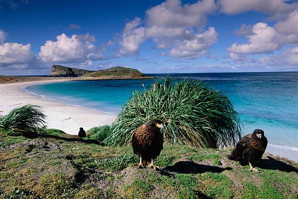 Striated Caracara Hawks on New Island:スマホ壁紙(壁紙.com)