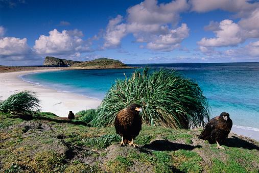 Falkland Islands「Striated Caracara Hawks on New Island」:スマホ壁紙(1)