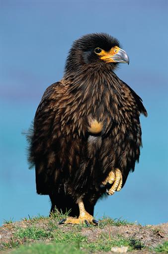 Falkland Islands「Striated Caracara Hawk Standing on One Leg」:スマホ壁紙(15)