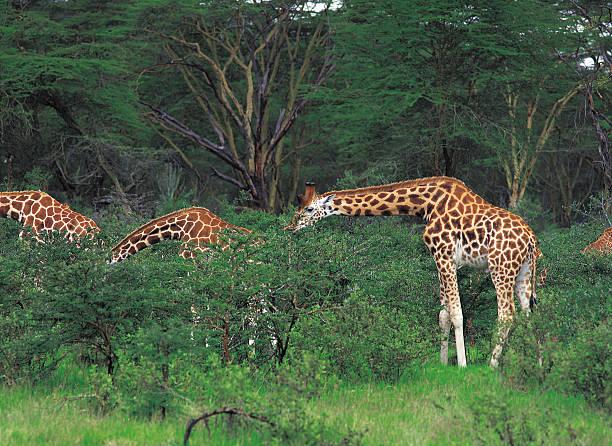 Three giraffes browsing on thorn trees in Africa:スマホ壁紙(壁紙.com)