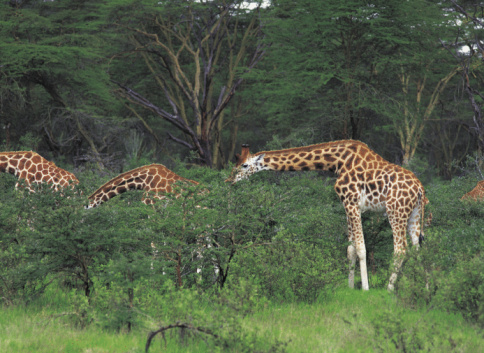 Choosing「Three giraffes browsing on thorn trees in Africa」:スマホ壁紙(14)